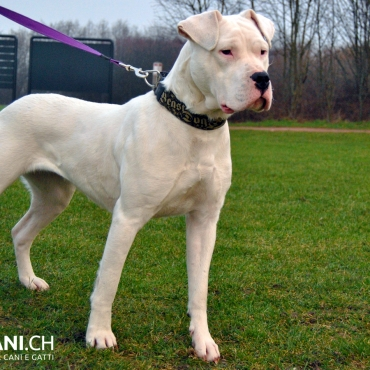 Dogo argentino (A)