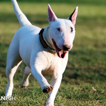 Bull Terrier (A)