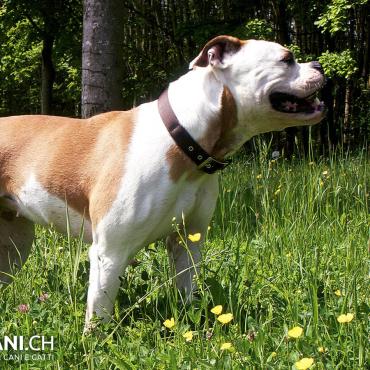 Bulldog americano (A)