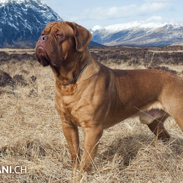 Dogue de Bordeaux (A)