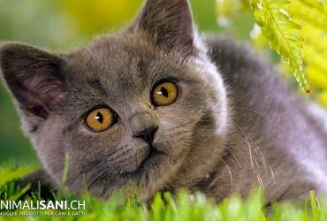 Razze di gatti (felini)