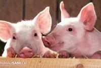 La carne di maiale al cane, tra verità e leggende