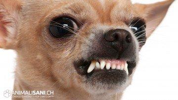 Chihuahua feroce!